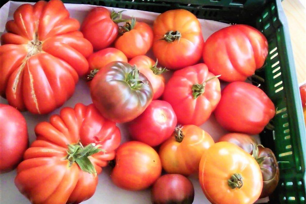 Auf seine historischen Tomatensorten ist das Gärtnerei-Team besonders stolz.