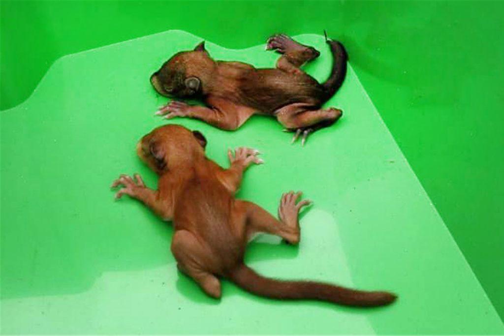 So zerbrechlich und winzig waren die beiden Eichhörnchen am Tag ihrer Rettung.