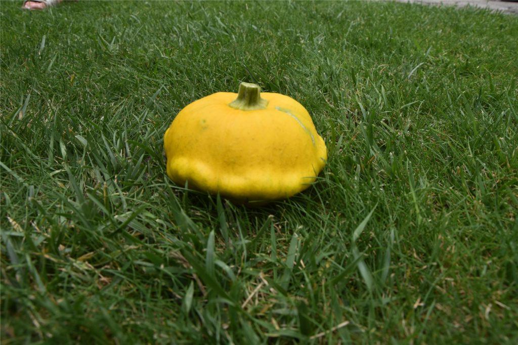 Gretel und Helmut John haben eine Zucchinisorte angepflanzt, die wie ein Ufo aussieht.