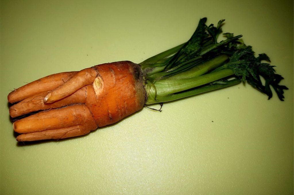 Das ist die Möhre, die wie eine Hand aussieht und die Johns in ihrem Garten gefunden haben.
