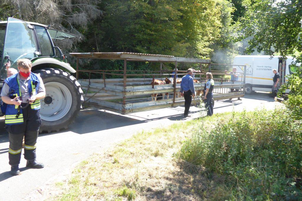 Die fünf Jungbullen konnten mit vereinten Kräften von Landwirten, Polizisten und Feuerwehrleuten eingefangen und auf einen Triebwagen verladen werden. Sie waren auf einem Maisfeld neben der A31 herumgelaufen.