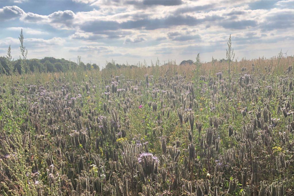 Klatschmohn und Sonnenblumen stecken in der Blütenmischung, die Fabian Schulte im Busch ausgesät hat.