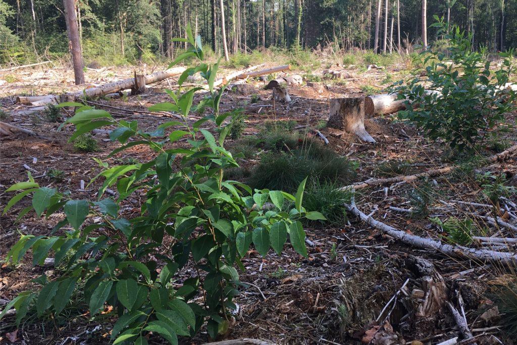 Die amerikanische Traubenkirsche verbreitet sich schnell und ist für die Holzwirtschaft nicht verwendbar.