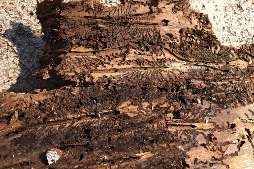 So sieht es unter der Rinde einer befallenen Fichte aus: Borkenkäfer haben sich eingenistet und ihre Kinderstube errichtet.