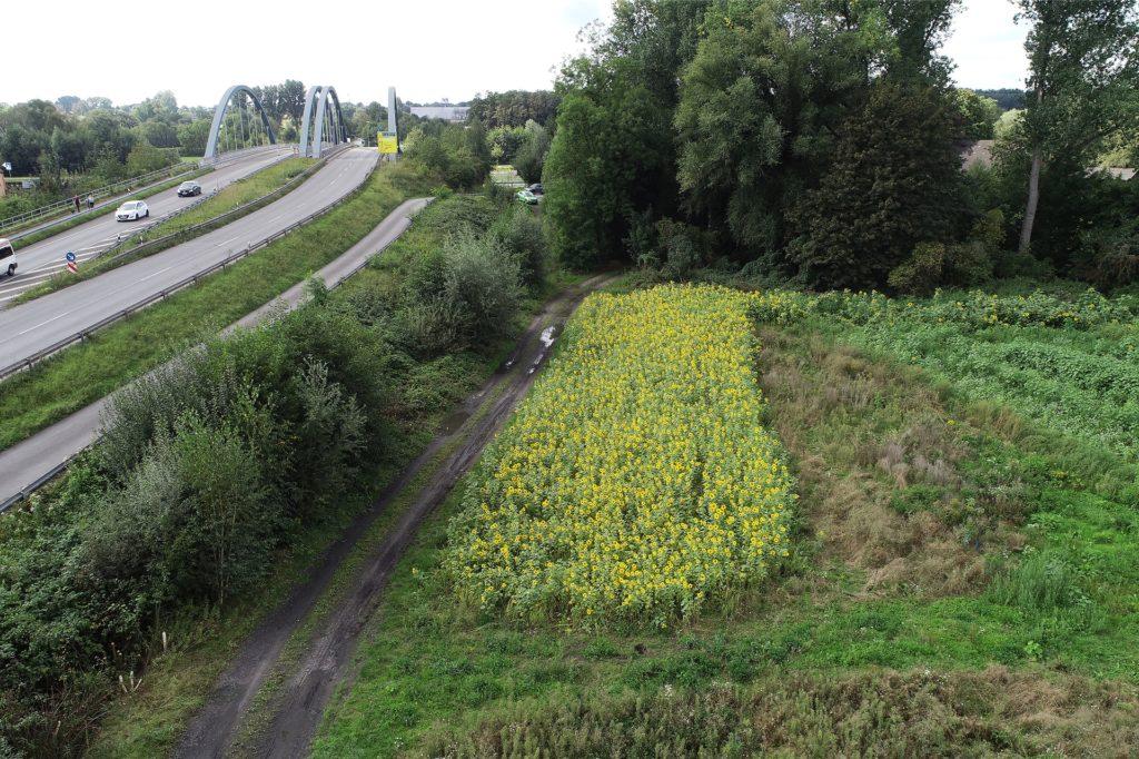 Auf dieser Fläche kurz vor der Kanalbrücke blühen die Sonnenblumen gerade.
