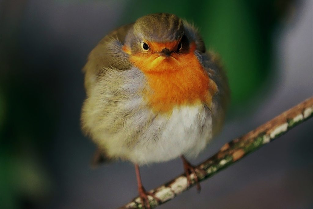 Das ist Rotkehlchen Robin, das offensichtlich gerade keine gute Laune hat: ein Foto mit Seltenheitswert.
