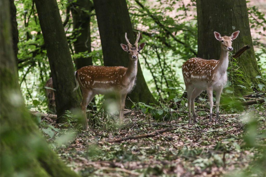Ein Gehege für Damwild gibt es im Süggelwald in Eving.