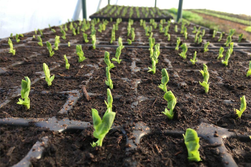 Bald dürfen die Gemüsejungpflanzen auf die Beete auf dem Acker umziehen.