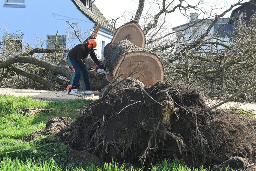"""Mit dem gesamten Wurzelwerk löste sich der Baum aus der Erde. """"Er war unauffällig"""", sagt eine Sprecherin des Landesbetriebs Straßen.NRW."""