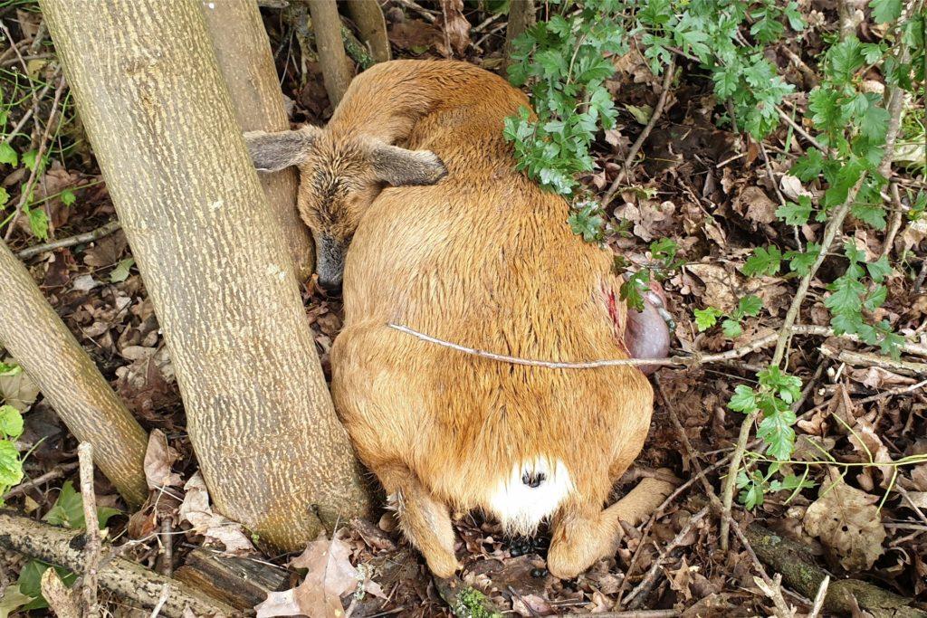 Ein Resultat menschlichen Fehlverhaltens: 2020 riss ein freilaufender Hund in Dorsten die Ricke. Sie verendete neben ihren beiden Kitzen. Auch sie starben.