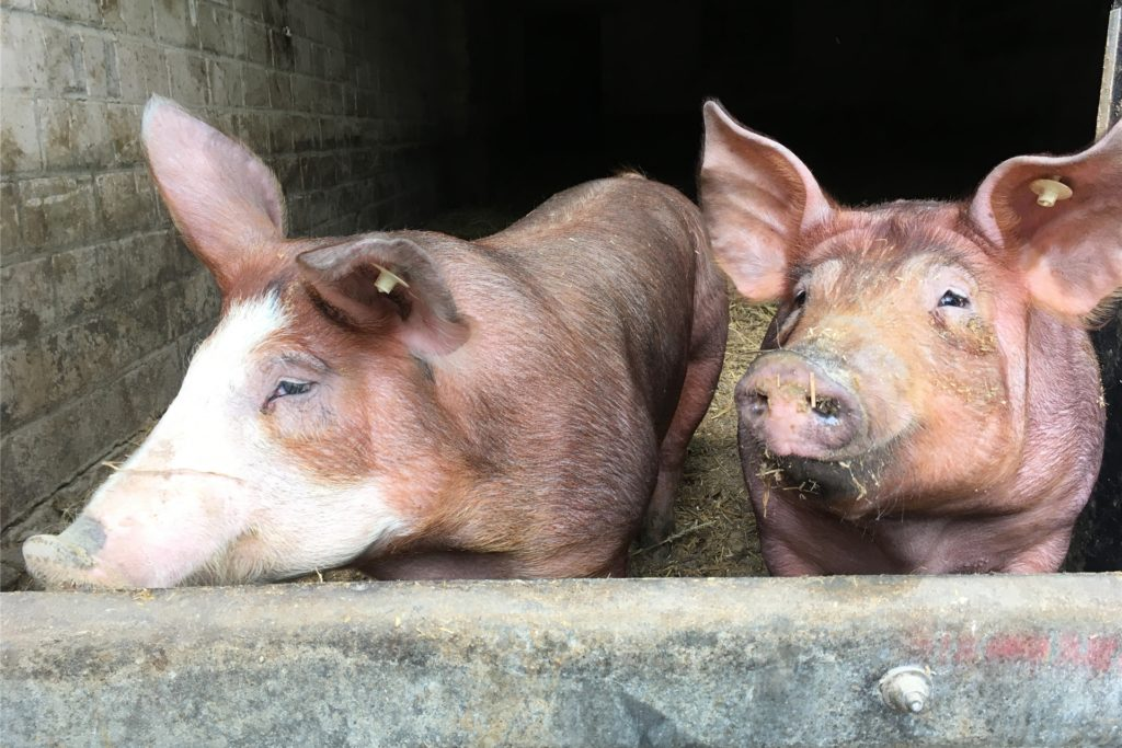 """Bei der Haltung hebt sich der Hof Wember von der standardisierten Schweinemast ab. Derzeit leben die rund 350 Schweine auf einer großen Strohfläche in einer sogenannten Aktivstallhaltung. Ein weiterer Stall wird aktuell in drei Bereiche aus Wühlfläche, Spiel- und Ruhebereich umgebaut, damit künftig 800 Schweine artgerecht leben und """"ihre Instinkte ausleben können"""".  Daraus ergibt sich der teurere Preis um etwa 30 Prozent im Vergleich zur Supermarktware, mit dem Kunden rechnen müssen. Ein mal pro"""