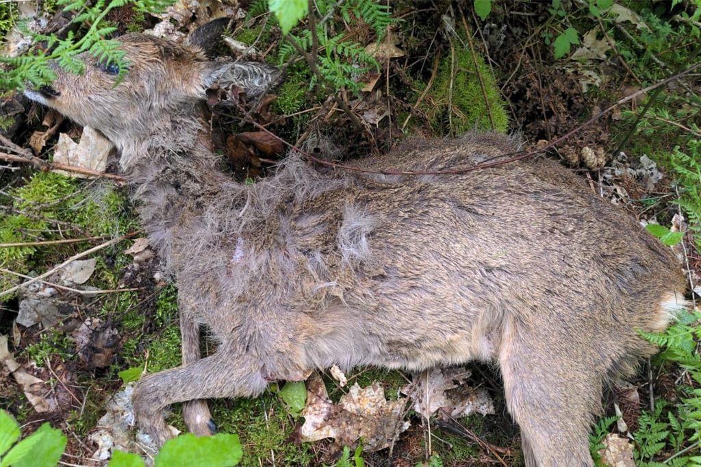 Die getöteten Rehe lagen nahe an den Spazierwegen.