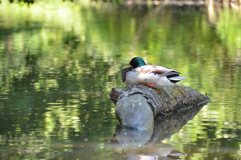 Eine Ente sitzt auf einem Baumstamm und genießt die Ruhe.