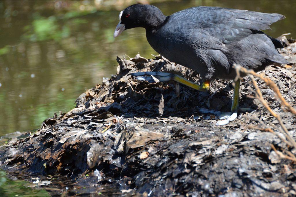 Ein Blässhuhn, dessen Name etwas irreführend ist, da die Art nämlich nicht zu den Hühnern gehört, sondern zu den Rallen, einer Gruppe von Wasservögeln.