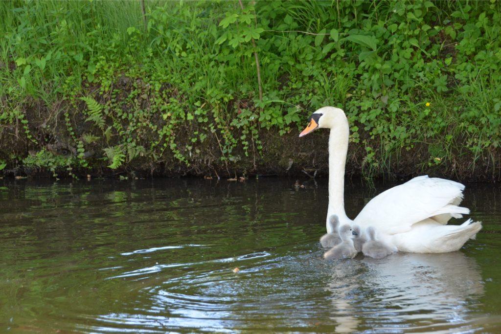 Die Höckerschwan-Mutter beschützt ihre Kleinen.