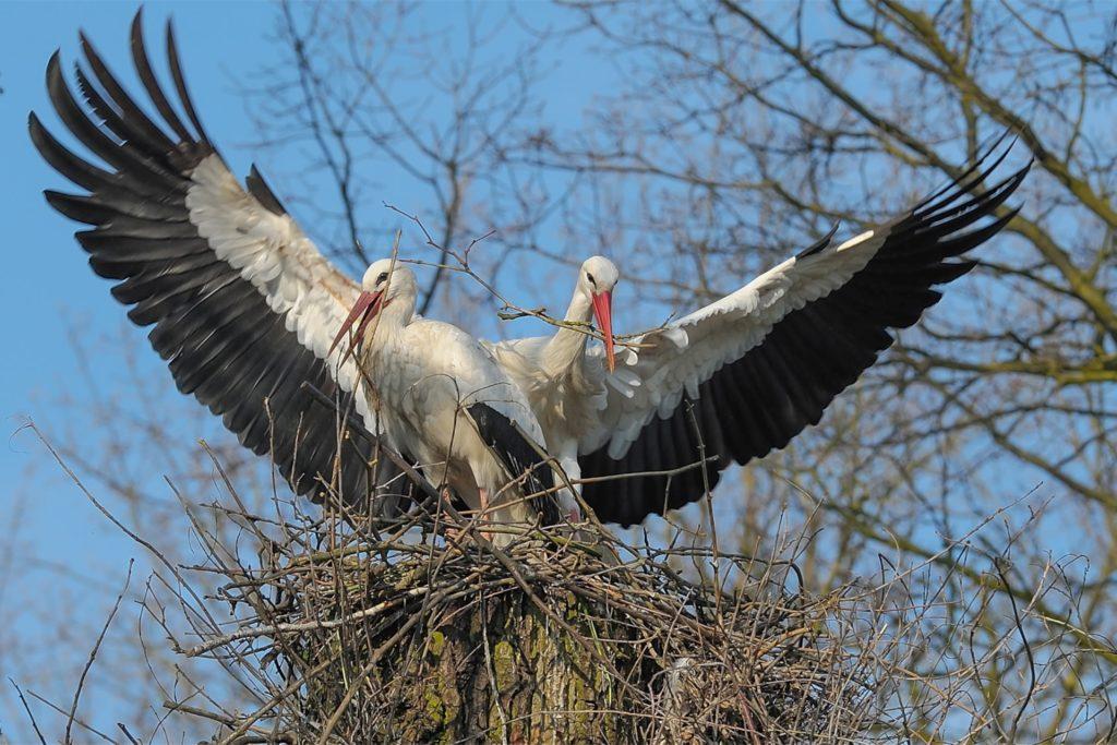 In Sythen sind zurzeit 17 Storchenpaare zu Hause.