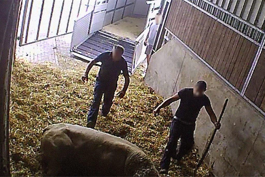 Zwei Männer treten in der VIehsammelstelle der Firma Mecke aus Werne auf ein Rind ein. Die Wählergemeinschaften im Kreis Unna fordern Konsequenzen beim Veterinäramt.