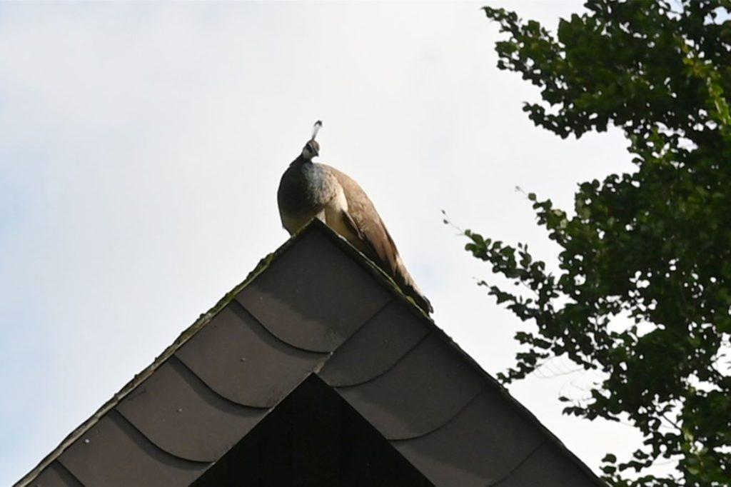 Der Pfau flüchtete aufs Dach.
